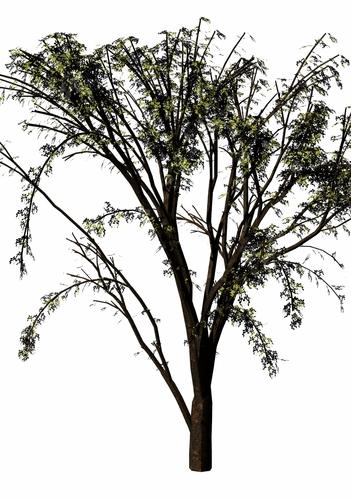 ipa-tree.jpg